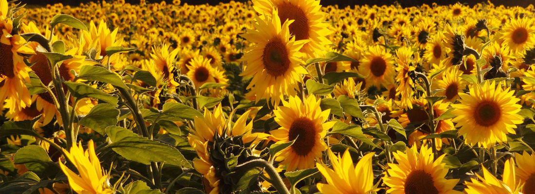 Sunflowers of Yellow Springs